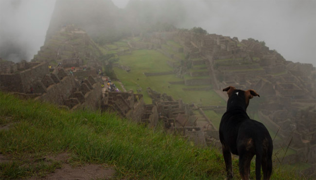 A dog peers over the cliff above Machu Picchu